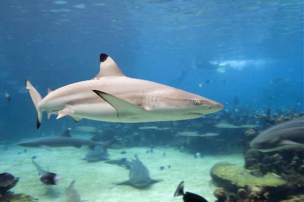 Blacktip Shark Carcharhinus limbatus - Shark Facts and ...