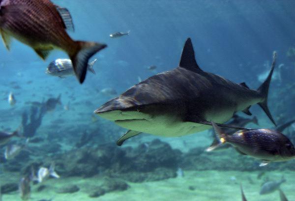 Bull Shark In Aquarium