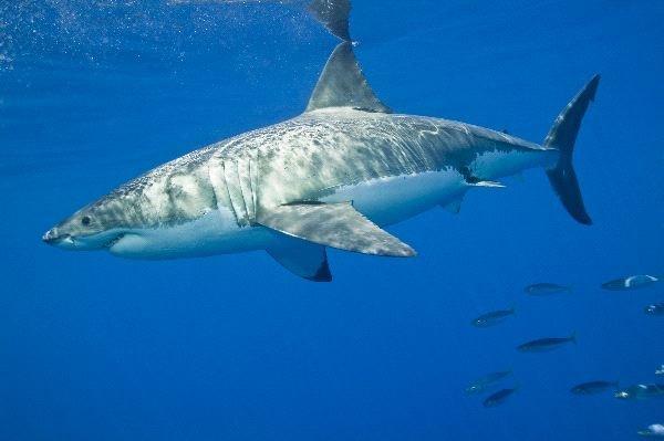 Great White Shark In The Pacific Ocean
