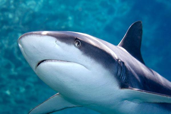 Grey reef shark vs bull shark - photo#2