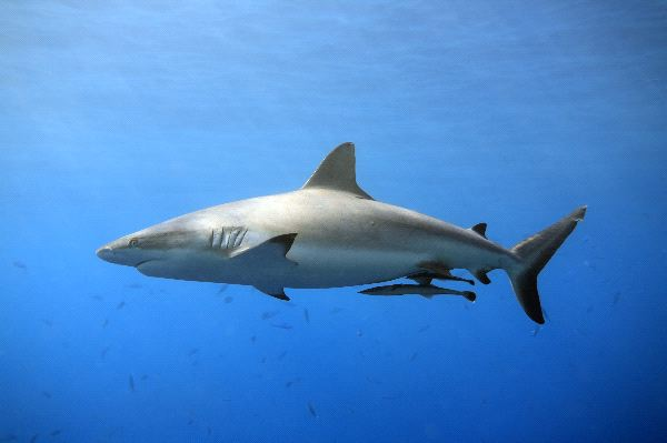 Grey Reef Shark Swimming In Shallow Water