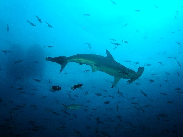 Hammerhead Shark With Fishes