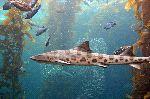 Leopard Shark In His Natural Habitat
