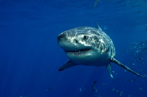The Great White Shark Near Guadalupe Island