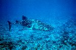 The Largest Fish - Whale Shark