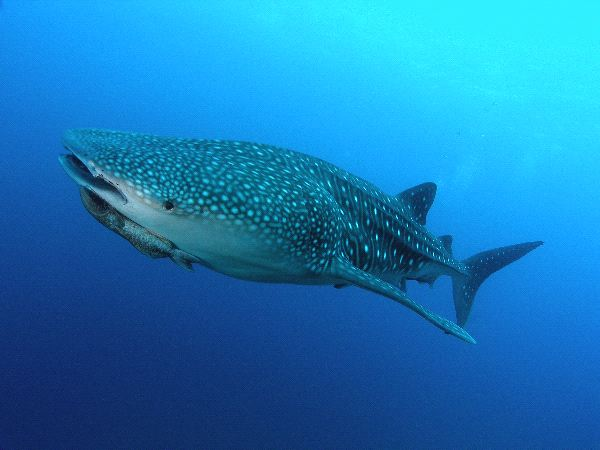 Whale Shark And Remora