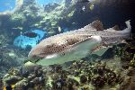 Zebra Shark In Australia