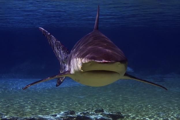 Zambezi shark facts