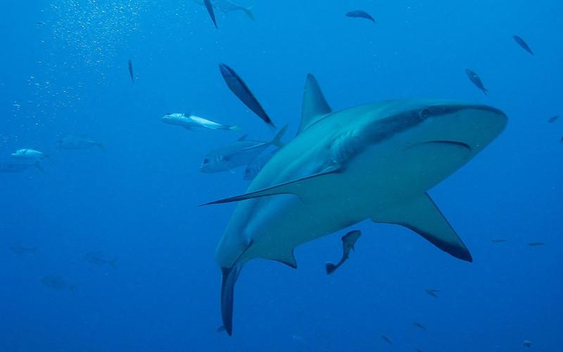 Conservación de los Tiburones