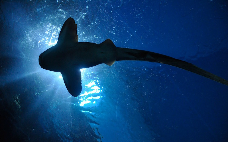Shark Conservation Efforts