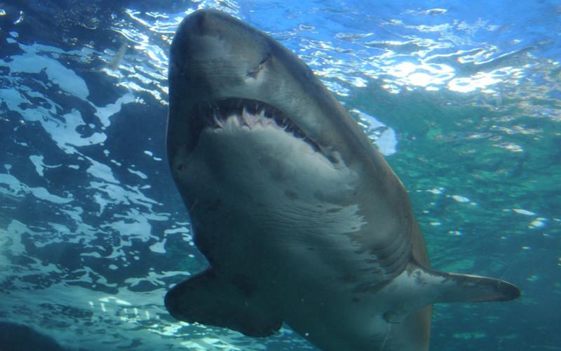 Shark Distribution