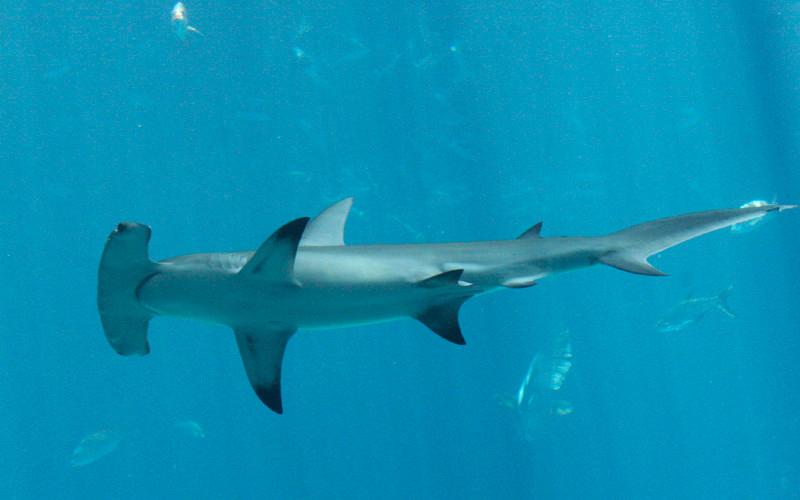 Characteristics of hammerhead sharks.