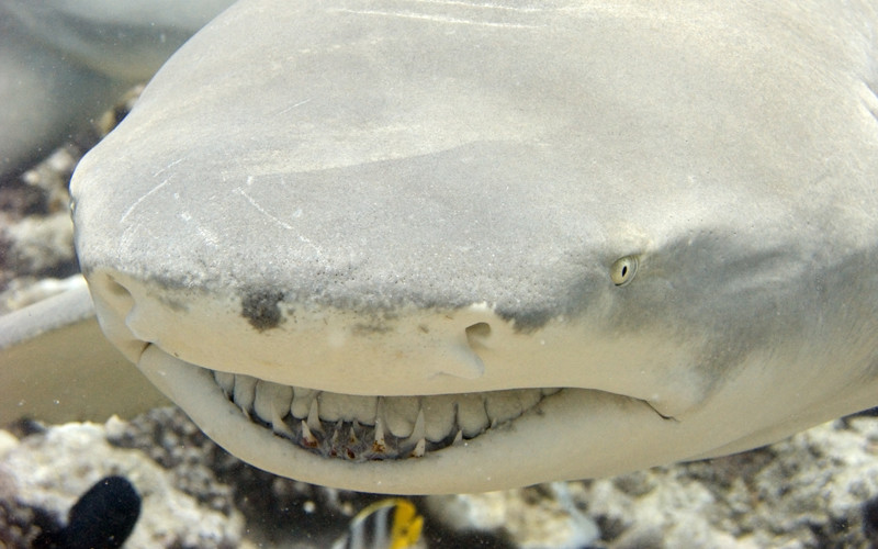 Lemon Shark Facts That You Should Know | All Five Oceans