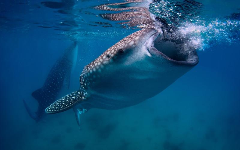 Whale Shark Slaughterhouses