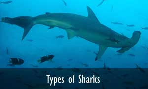 Types of sharks
