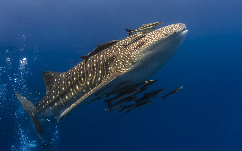 Facts about whale sharks.