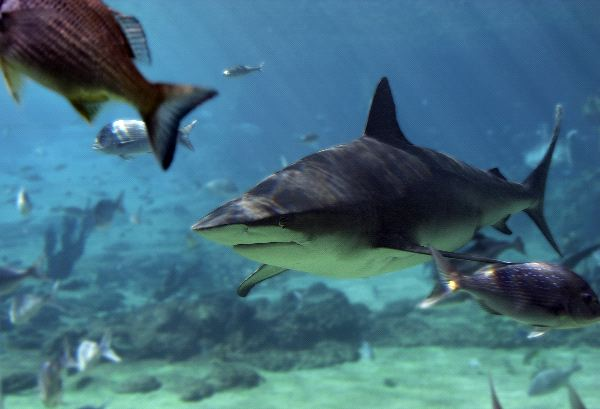 Bull Shark In Aquarium