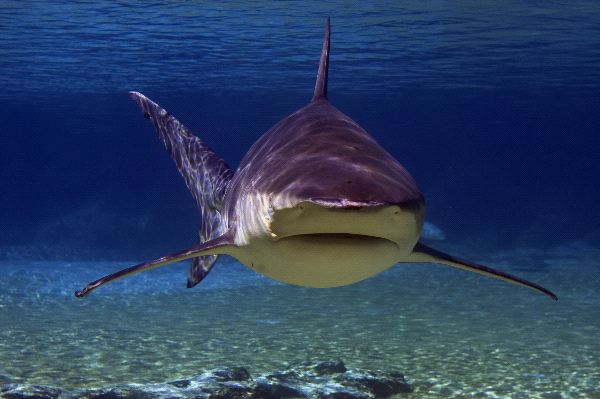 Bull Shark Or Zambezi Shark