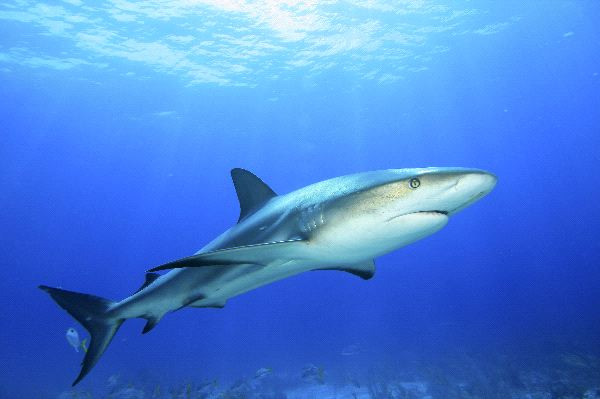 Caribbean Reef Shark In The Bahamas