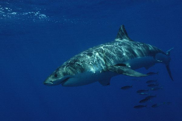 Great White Shark In Dark Blue Waters