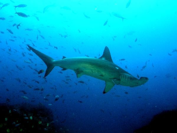 Hammerhead Shark And Beautiful Shades Of Blue