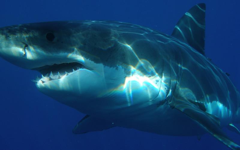 Shark Information
