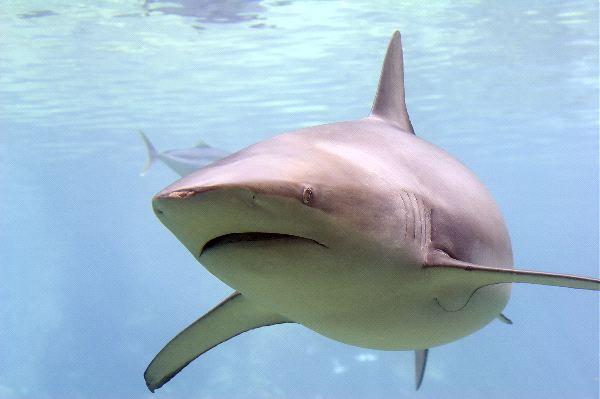 Shark In Australian Aquarium