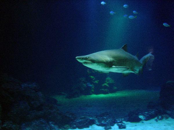 The Dangerous Tiger Shark