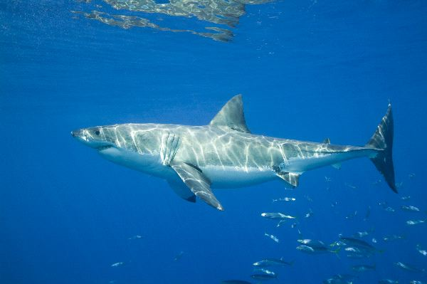 The Feared Great White Shark - Carcharodon Carcharias