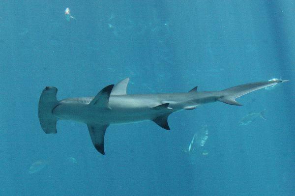The Unique Hammerhead Shark