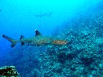 White Tip Reef Shark In Coral Reefs