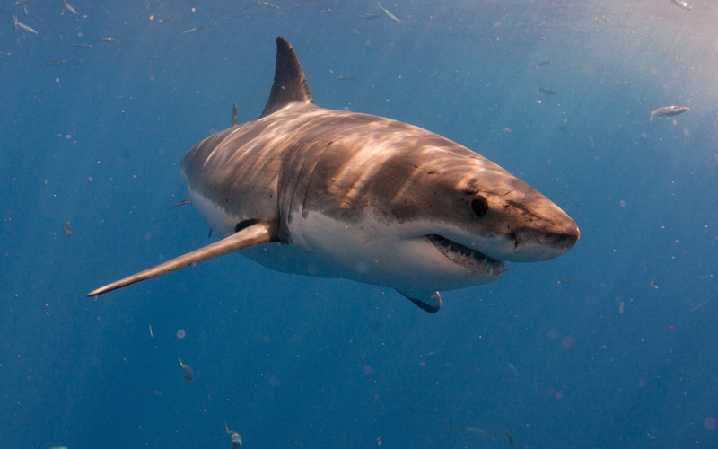 Great White Shark Enemies | Great White Shark Shark Facts And Information