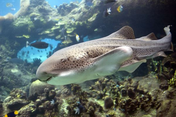 Zebra Shark In Australia