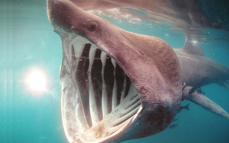 Facts about basking shark.