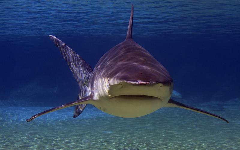 Bull Shark Shark Facts And Information