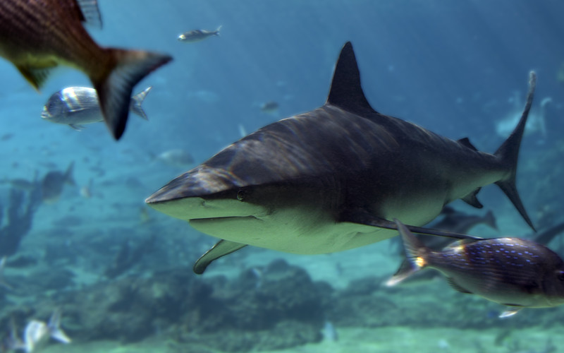 Facts about bull shark.