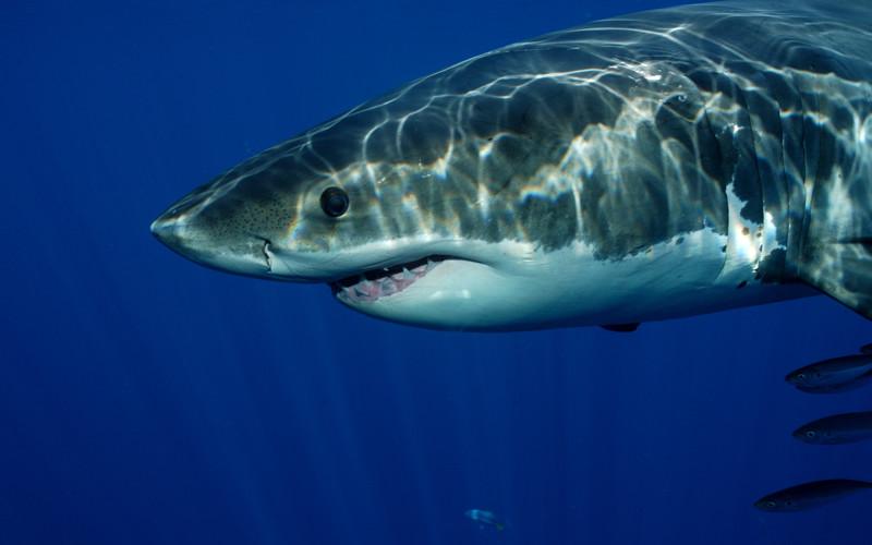 Shark Communication
