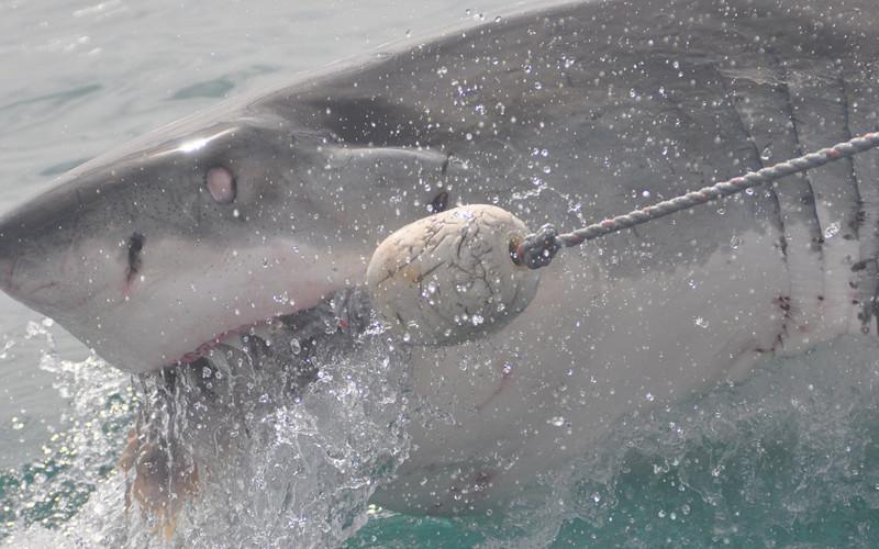 Sharks Endangered