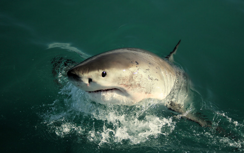 Great White Shark - Carcharodon carcharias.