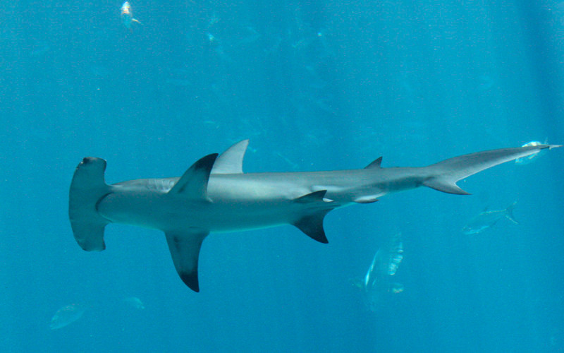 Hammerhead Shark - Shark Facts and Information