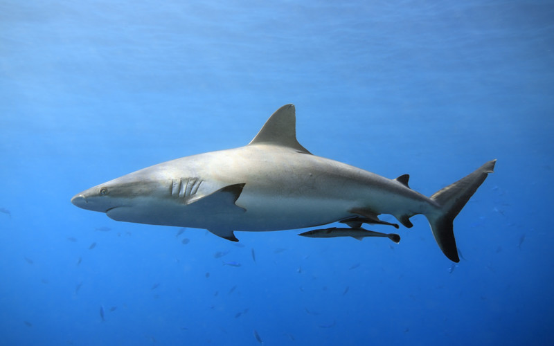 Shark tails shark facts and information for Shark tail fish