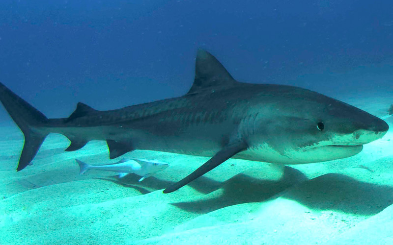 Tiger Shark Shark Facts And Information